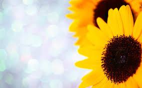 best 53 sunflower twitter backgrounds