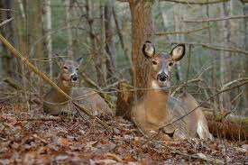 how to tell a buck bed from a doe bed