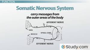 somatic nervous system definition