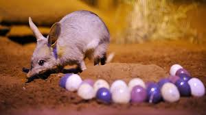 The bilby, our Easter mascot, struggling to survive | NITV