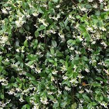 Jasmine Care Pruning And Health Benefits Of Jasmine
