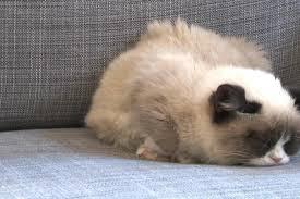 grumpy cat wallpaper ① free