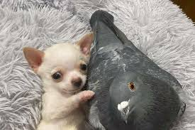 meet herman the flightless pigeon and his best friend lundy the