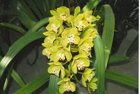 Orchids By Art: Cymbidium Sunshine Falls 'Fern Graham'