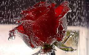 wallpapers beautiful rose red rose