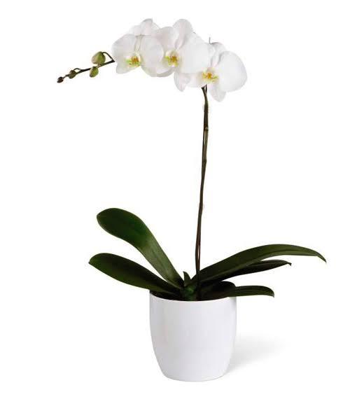 """Resultado de imagen para orquideas lima"""""""