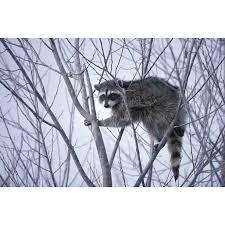 Peel N Stick Poster Of Procyon Lotor Animals Raccoon Raccoons Fauna Poster 24x16 Adhesive Decal Walmart Com Walmart Com