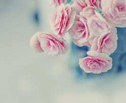 pink pastel roses flowers nature