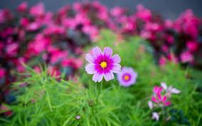 nature flower garden cosmos pink hd