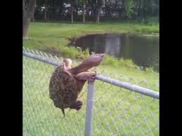 Animal Leak Snapping Turtle Climbs Fence Snapping Turtle Cool Gifs Animals