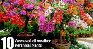 perennial plants to grow in pots