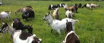 Raising Goats Insteading