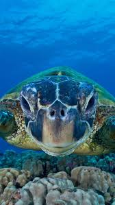 green sea turtle on world oceans