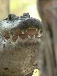 Gator Week Do Gators Really Climb Trees Wpec