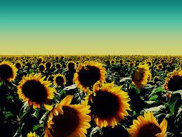 sunflower wallpapers 27