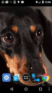 dachshund puppy wallpaper for android