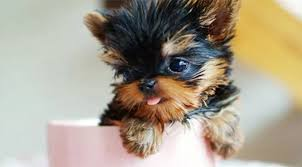 teacup dogs 10 of the tiniest dog