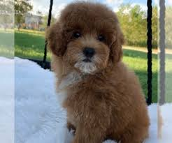 poodle toy puppy near texas