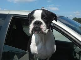 Rare black and white Boxer dog