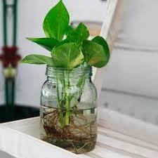 money plant in mason jar at rs 699