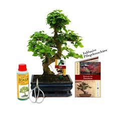 gift set bonsai ligustrum chinese