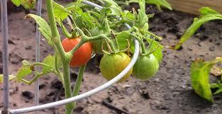 easy vegetables to grow in garden