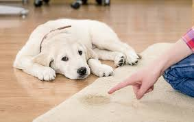 dog urine smell out of carpets