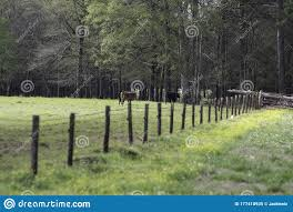 Commercial Beef Calves Walking Towards A Gate Stock Image Image Of Farming Fencing 177418935