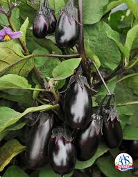 5 tips for growing excellent eggplant
