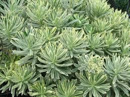 evergreen shrub euphorbia summerhill