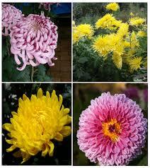 أقحوان زهرة الغريب ويكيبيديا