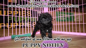 black toy poodle puppies
