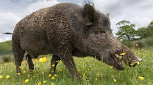 The taming of the pig took some wild turns   Science   AAAS