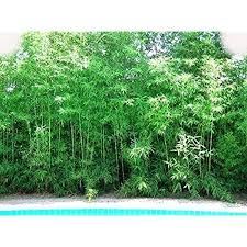 Amazon Com Bambusa Malingensis Seabreeze Clumping Bamboo Plant Garden Outdoor