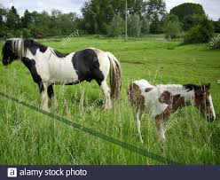 Black And White Piebald Horse With Brown And White Foal In A Field With A Background Of Trees Electric Tape Fence In The Foreground Stock Photo Alamy