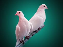 pigeon birds wallpaper 41872154