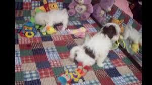 maltipoo maltipoo puppies puppy for
