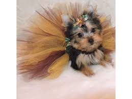 cute chorkie miniature yorkie puppies