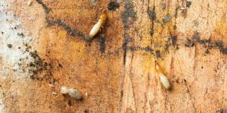Get Drywood Termites Size Background