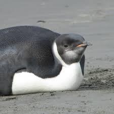 """Résultat de recherche d'images pour """"gros pingouin"""""""