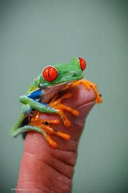 Image result for red-eyed tree frog