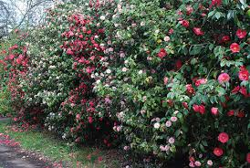 Best Camellias For Faster Growing Privacy Hedge