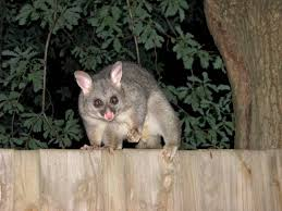 possums pared to opossums what s