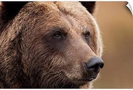Amazon Com Canvas On Demand An Adult Grizzly Bear Alaska Wildlife Conservation Center Southcentral Alaska Wall Decal 30 Home Kitchen
