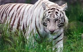 white tiger wallpapers free