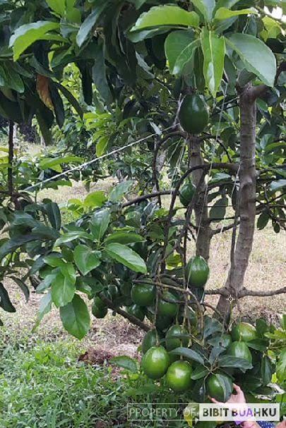 pohon alpukat miki berbuah tanpa ulat