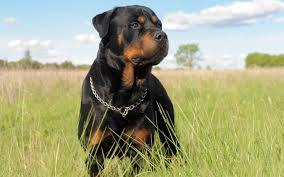 rottweiler wallpapers top free