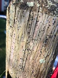 Tiny Black Bugs On Wood Long Island Ny Slow Moving Found On Wooden Fence Posts And Live Tree Trunks January Cold But Sunny Whatsthisbug