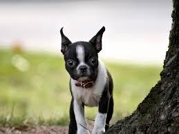 full hd boston terrier adorable
