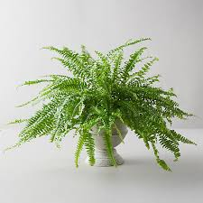 Boston Fern, Gray Urn - Terrain in 2020 | Boston ferns, Boston fern indoor,  Peperomia plant